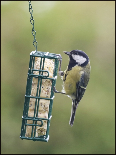 Great tit 1 RZ