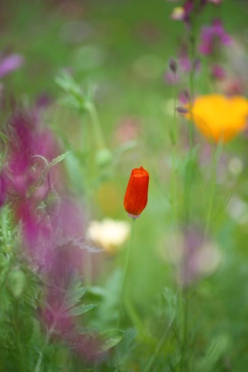Wild flower RHS Poppy