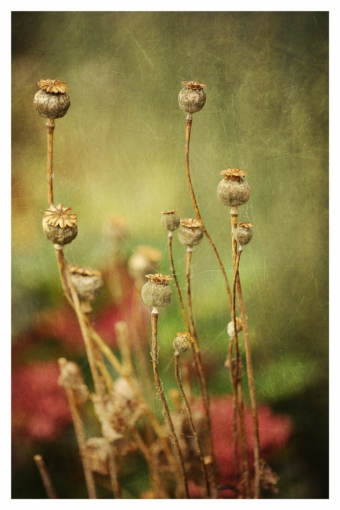 Poppy seed heads Wabi Sabi