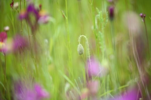 Wildflower Harlow Carr RHS Poppy